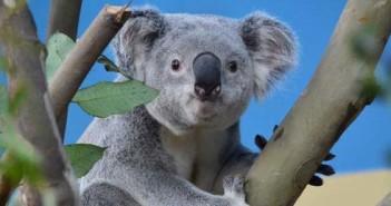 DHL, koala